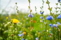 bloemrijke akkerrand
